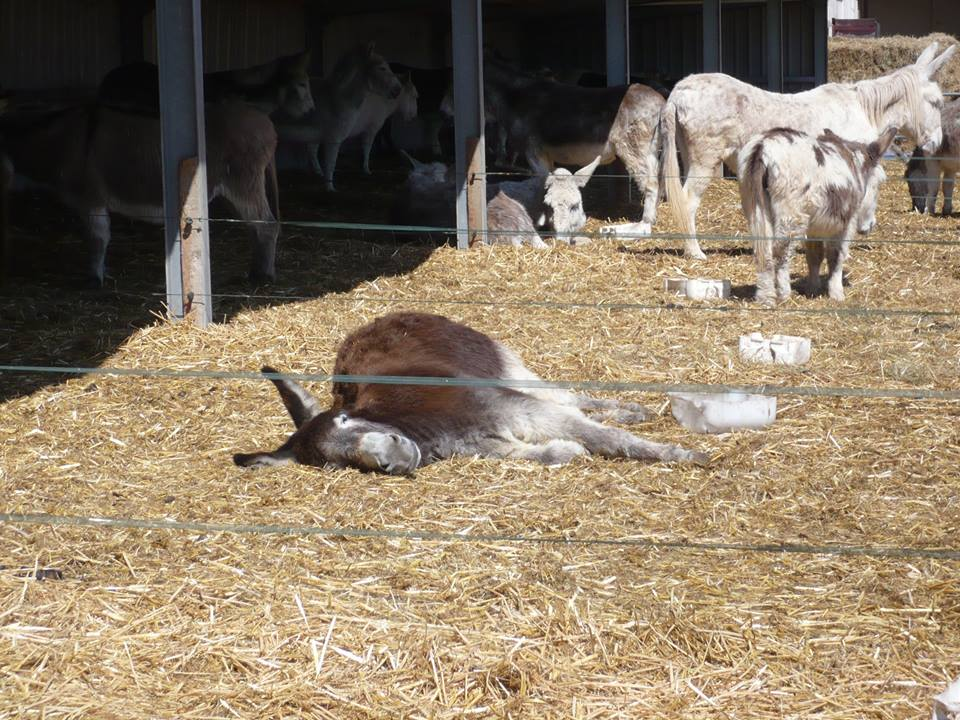 how to draw a donkey lying down