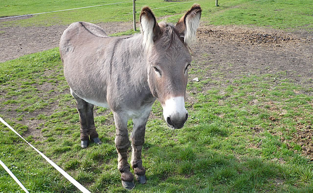 Ed the donkey, dad of mules Bailey and Busby