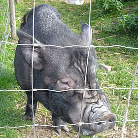 Percy the pot-bellied pig at Island Farm Donkey Sanctuary