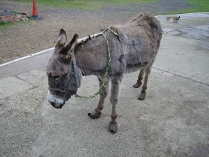 Example of a donkey recently arrived at IFDS and in need of veterinary attention