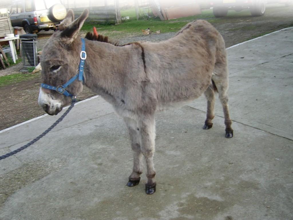 Midge on the road to recovery at Island Farm Donkey Sanctuary, Wallingford, Oxon.
