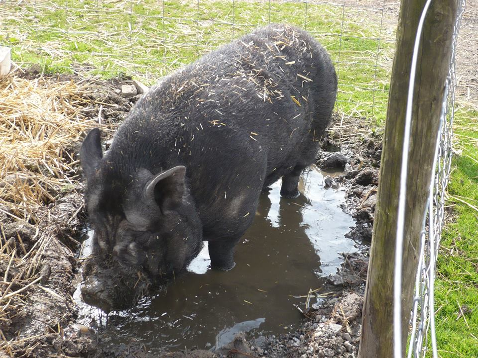 Percy pig at Island Farm Donkey Sanctuary
