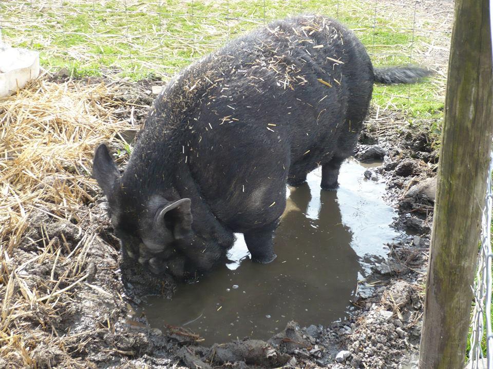 Percy pig at Island Farm Donkey Sanctuary