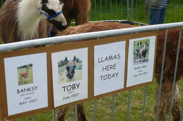 IFDS-CountryShow_Llamas