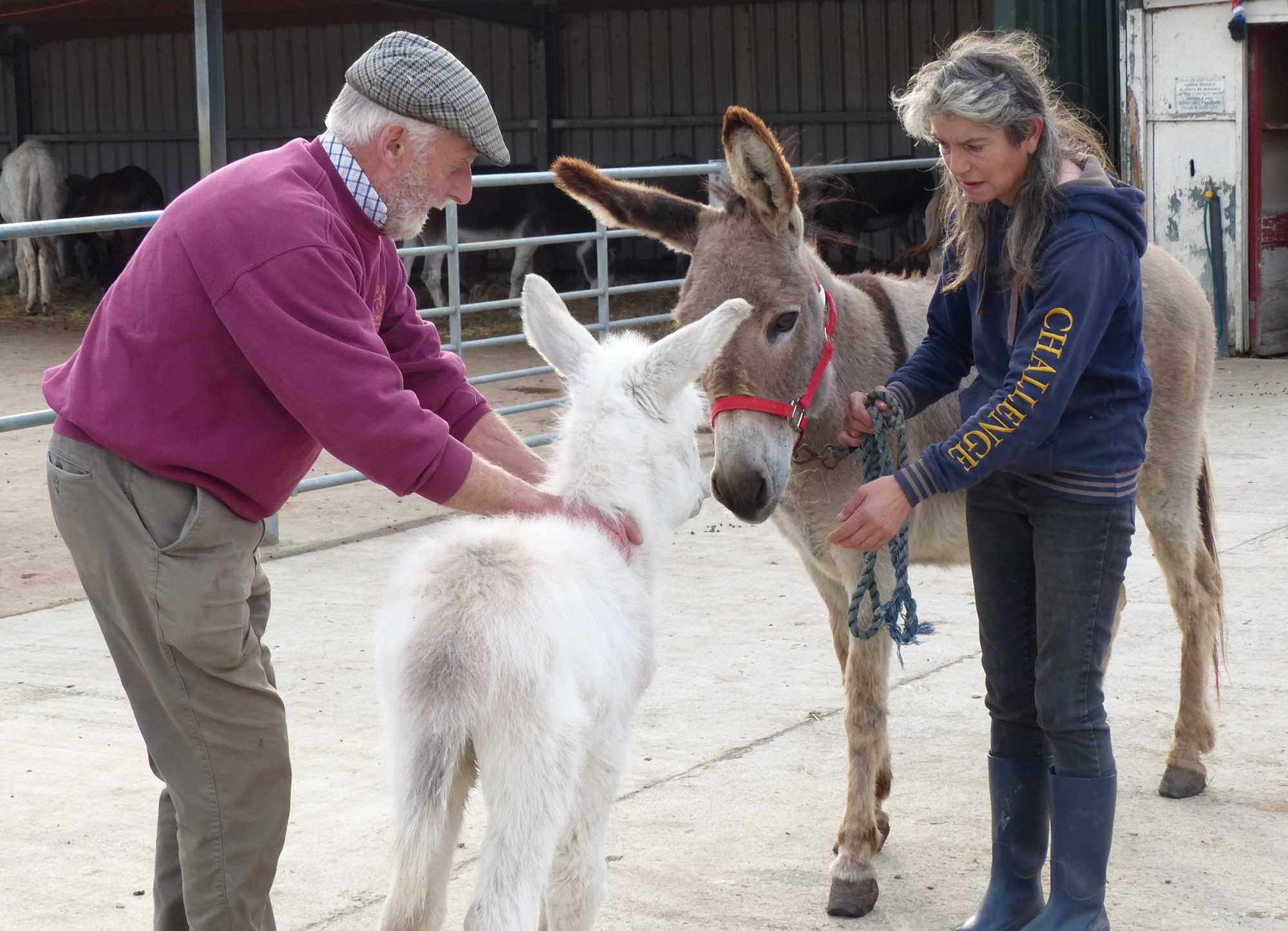 Lucas newly arrived at Island Farm donkey sanctuary